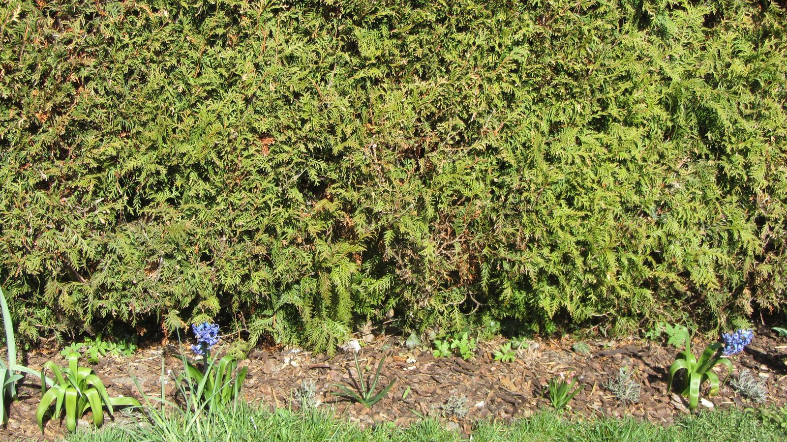 Zahrada 2016 - hyacinty