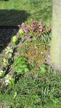 hyacinty a čemeřice pod magnolií