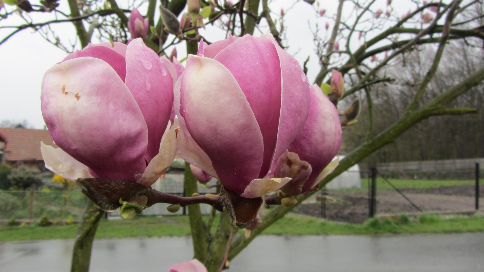 Zahrada 2016 - magnolie