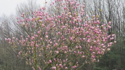 """naše """"vítací"""" magnolie u branky"""