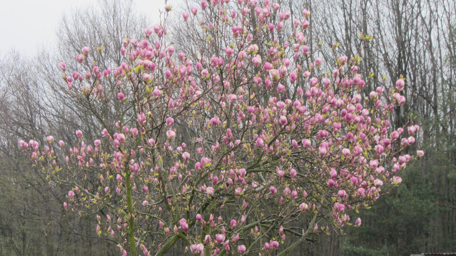 """Zahrada 2016 - naše """"vítací"""" magnolie u branky"""