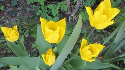 pár tulipánů přeci jen vykvetlo. Jinak mám samé listí :-(