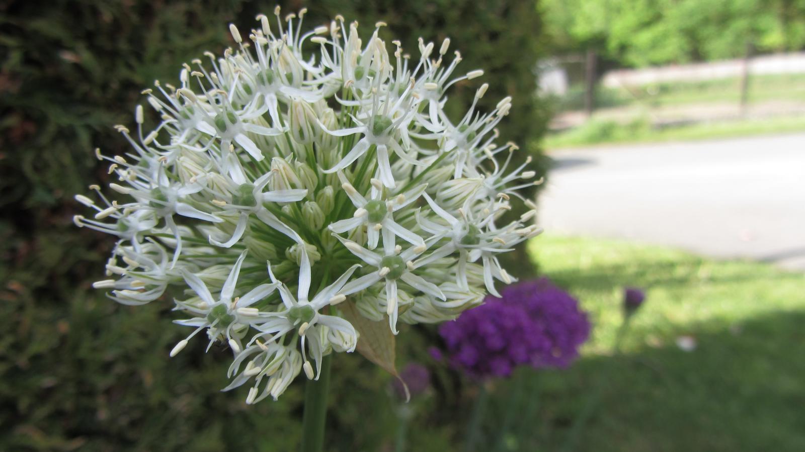 Zahrada 2016 - okrasný česnek - bílý