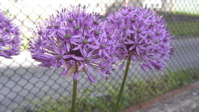 okrasný česnek - fialový