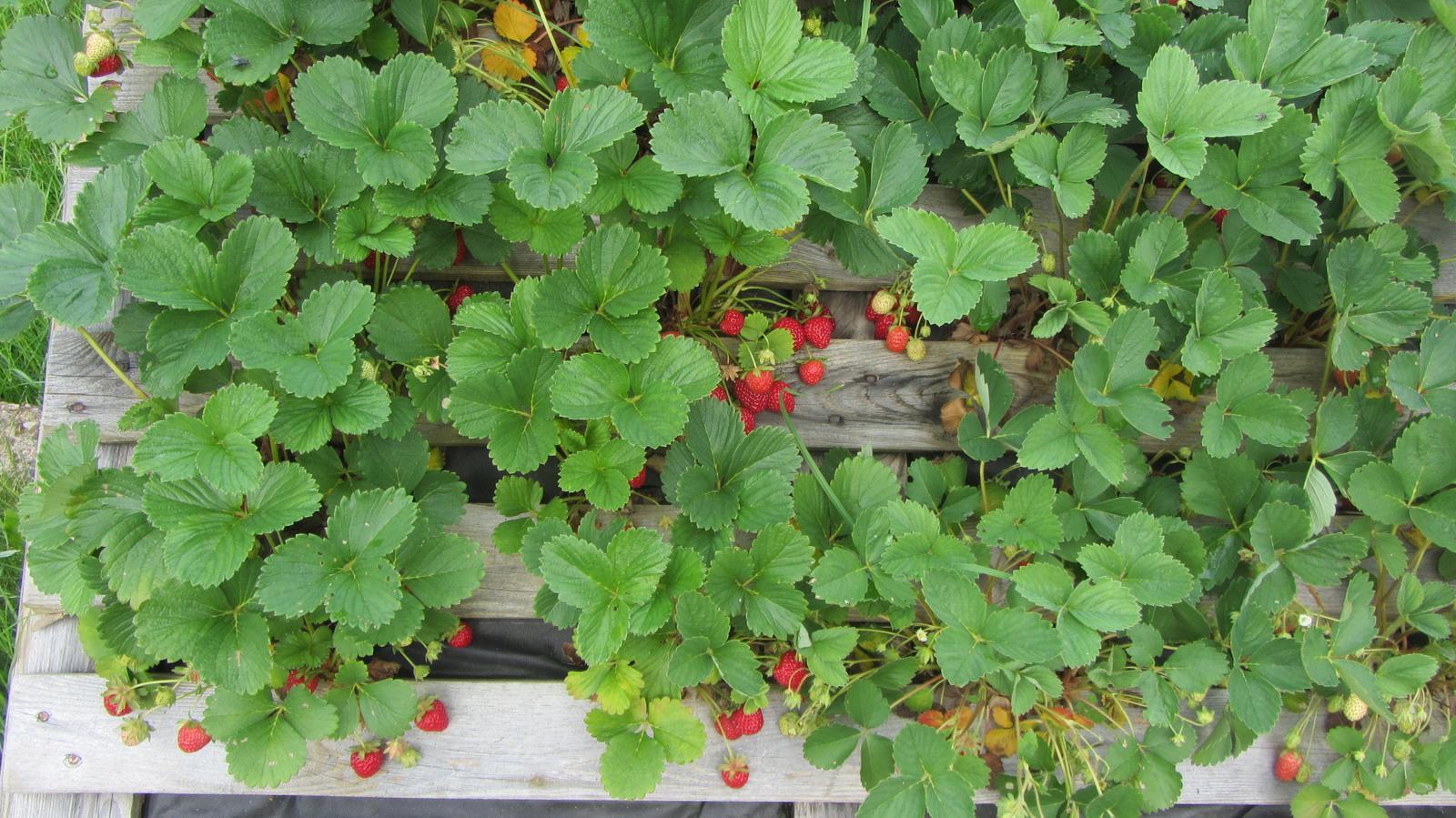 Zahrada 2016 - na jahodníku už se to červená
