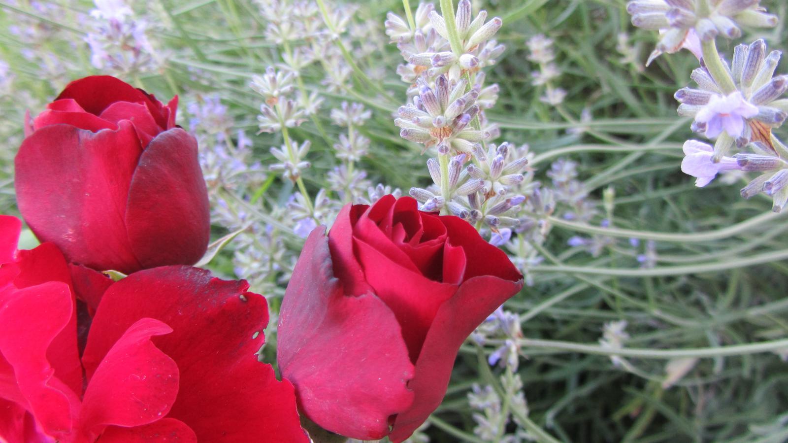 Zahrada 2016 - levandule a růže
