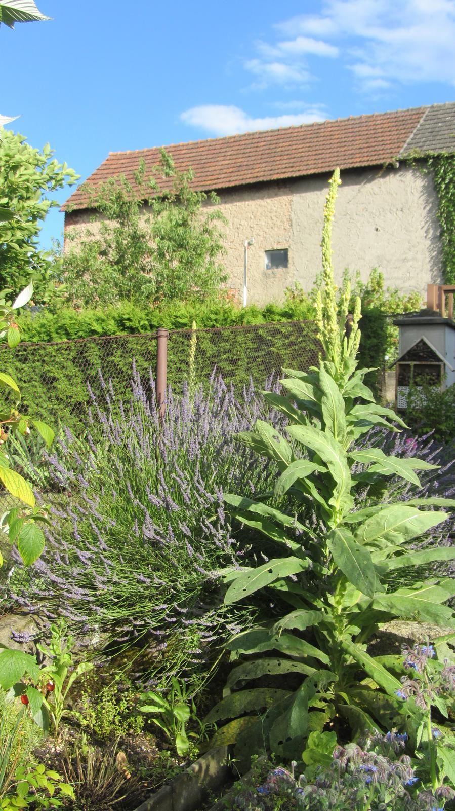 Zahrada 2016 - levandule letos asi zešílela. Stonky mají v průměru 1,30 m délky.