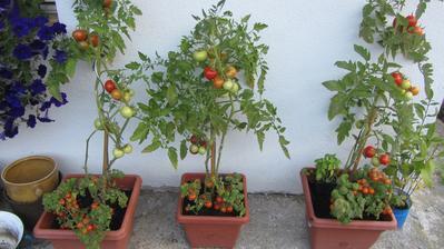 letošní úroda rajčat