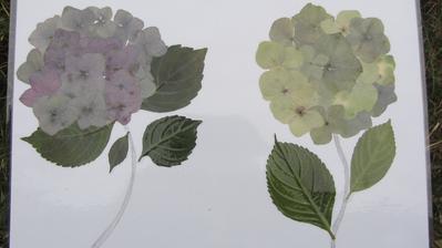 z lisovaných a sušených květů jsem začala dělat obrázky