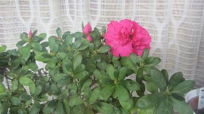 azalka se přes rok letnila v zahradě, teď začíná kvést aby zdobila zimní okno