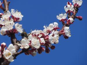 meruňka v květu