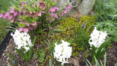 a pod magnolií