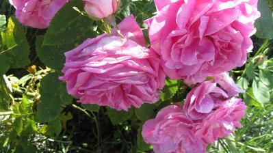 krásky v růžové