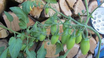 rajčata - letos zkouším novinku, rajče naroubované na lilku