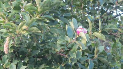 naše bláznivá magnolie má cca 8 květů