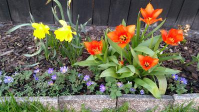 na podzim jsem sázela bílé tulipány :-) Originál, přivezené z Holandska. Soudruzi Holanďani asi někde udělali chybu.