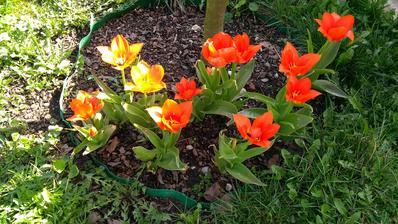 Tulipány miluji jakékoliv, i když měly být bílé a nejsou.