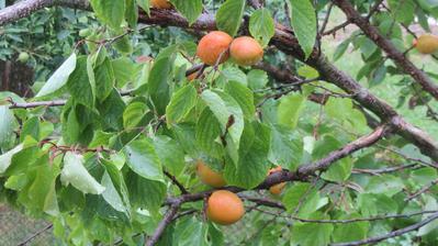 meruňky jsou umyté, můžu jít dělat marmeládu :-)