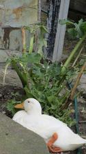 kachna a rebarbora, resp. to, co z ní zbylo :-)