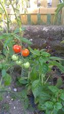 rajčatům se ve společnosti bazalky daří