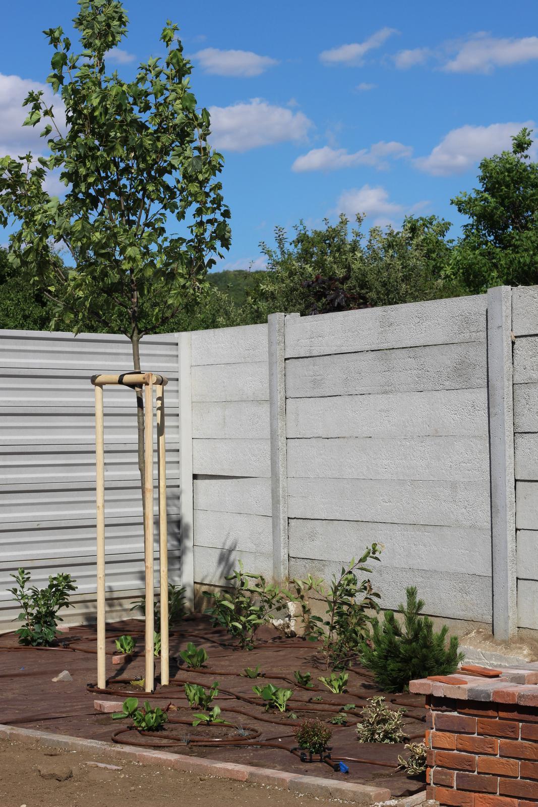 Exteriér - záhrada - Javor od Javorovcov :-)