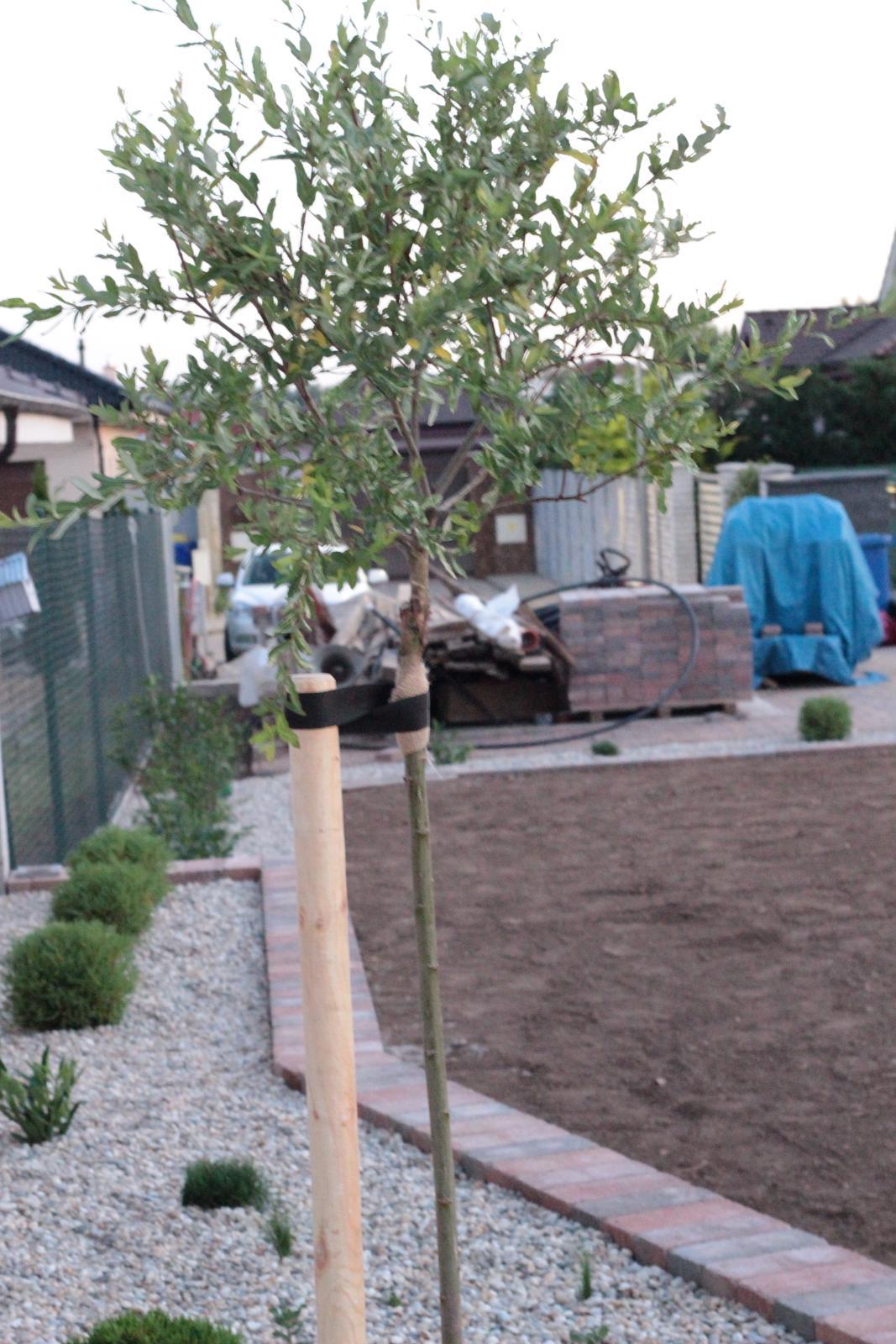 Exteriér - záhrada - Ukončenie vyvýšeného záhonu - vŕba hakuro nishiki