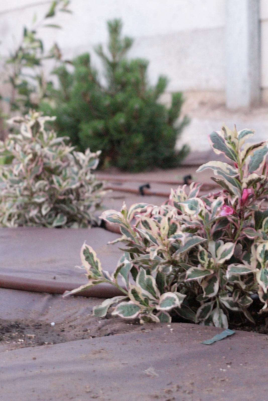 Exteriér - záhrada - Weigela florida