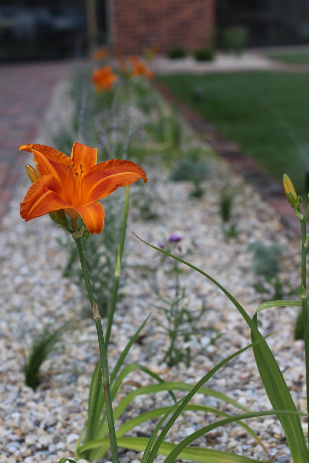 Exteriér - záhrada - Ľaliovky potešili :-)