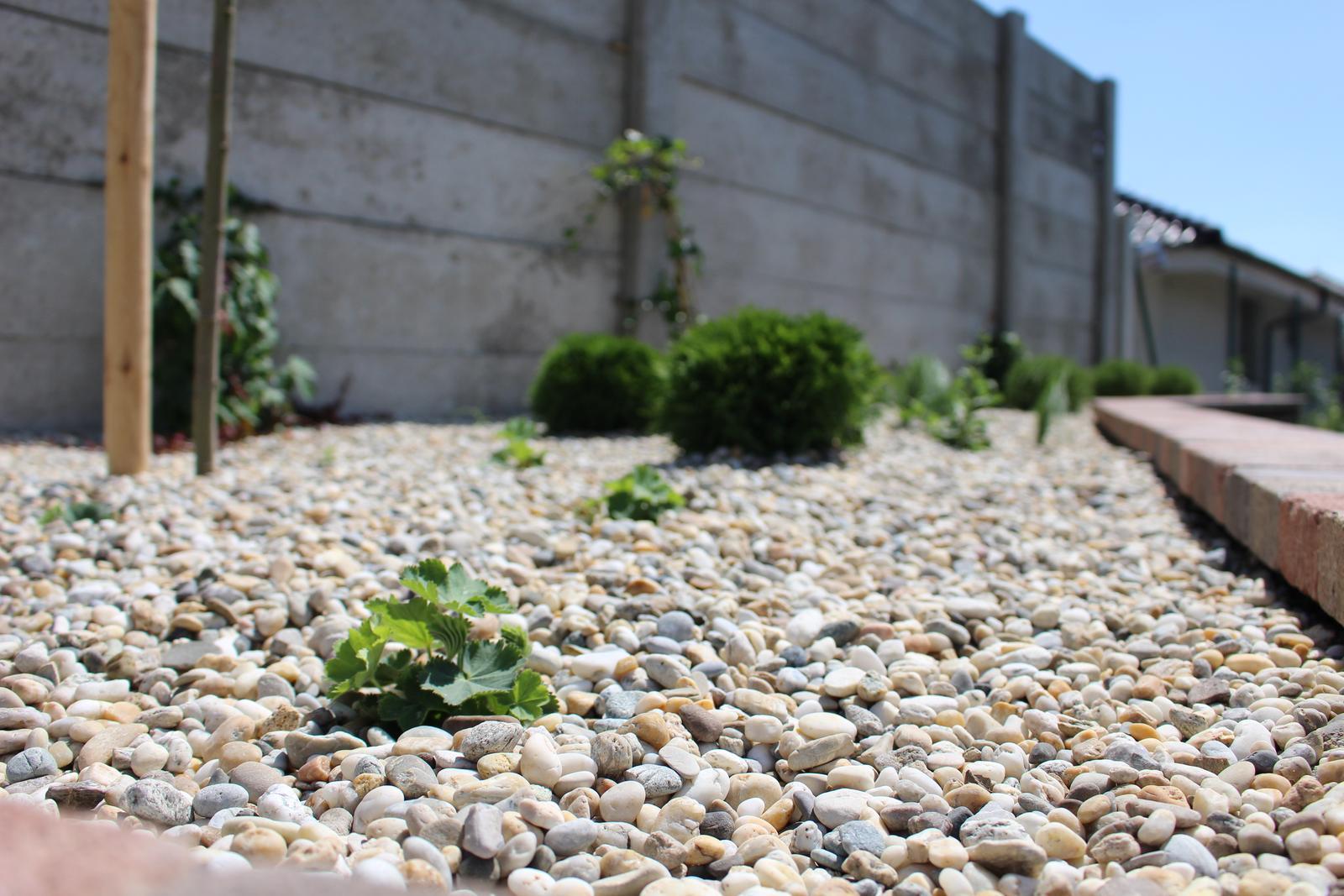 Exteriér - záhrada - Po 2 týždňoch - alchemilky sa vzchopili