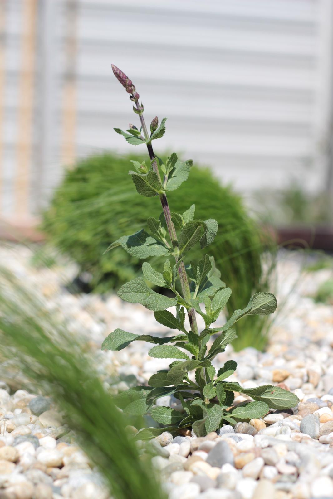 Exteriér - záhrada - Po 2 týždňoch - šalvia bude kvitnúť :-)