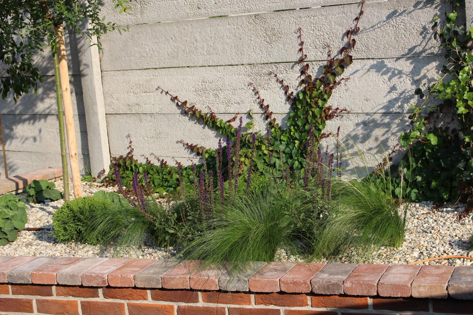 Exteriér - záhrada - Po 2 mesiacoch od výsadby, pavinič sa pekne rozrastá