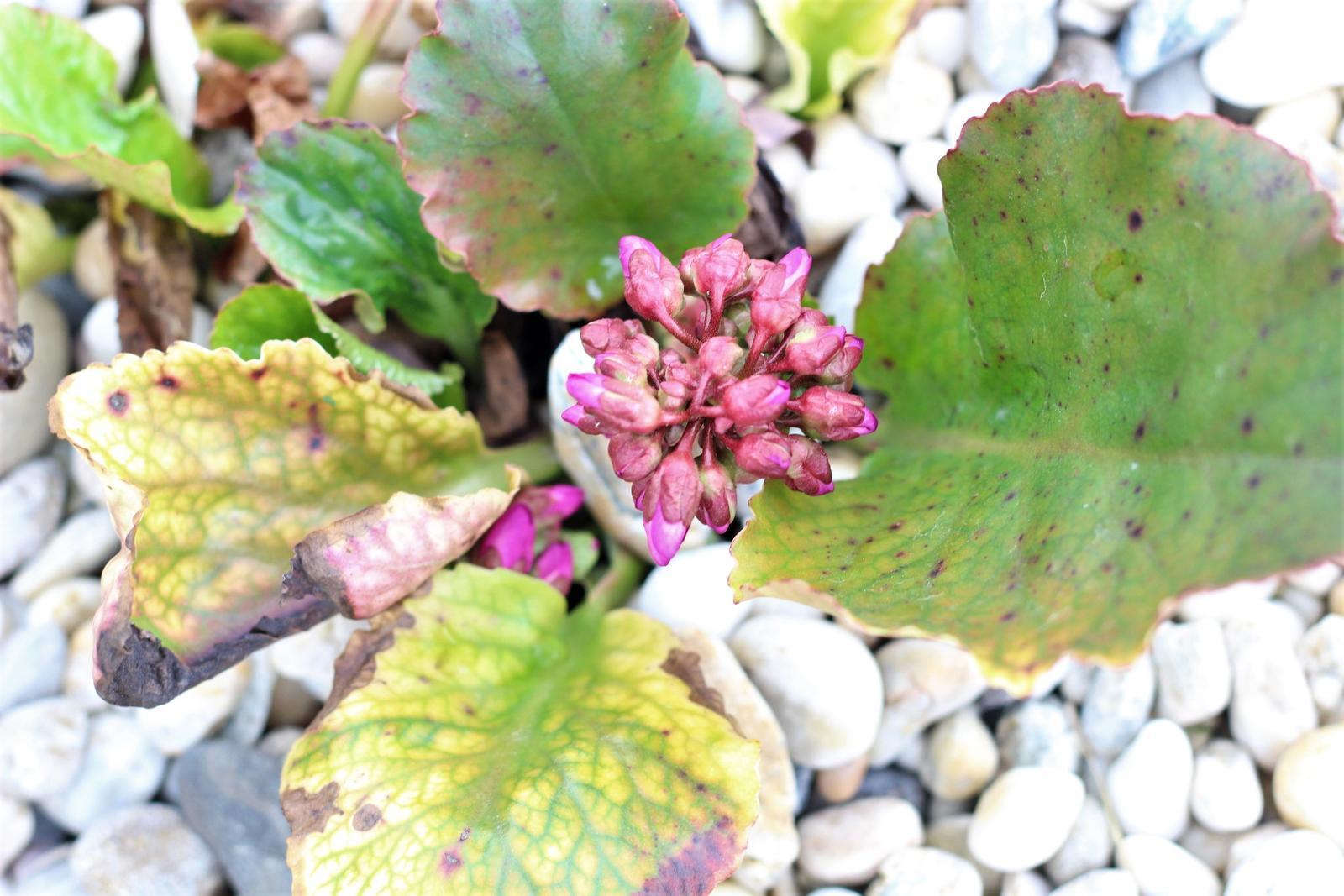 Exteriér - záhrada - Konečne budú kvitnúť :-)