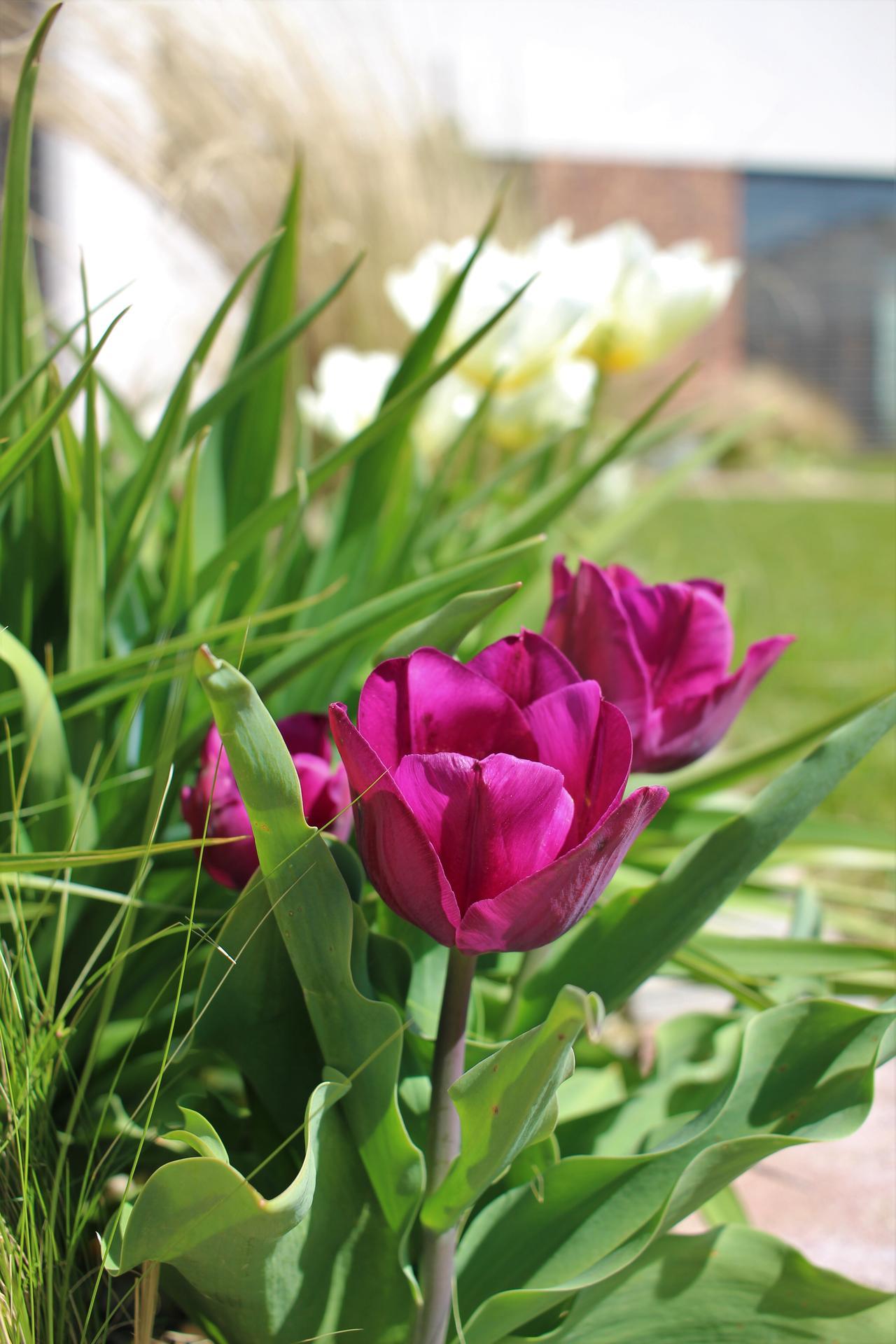 Exteriér - záhrada - Konečne vykukli aj fialové, prežili.