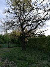 Výhled z ložnice na naší starou marhuli.. Starý, ale stále krásný strom ❤