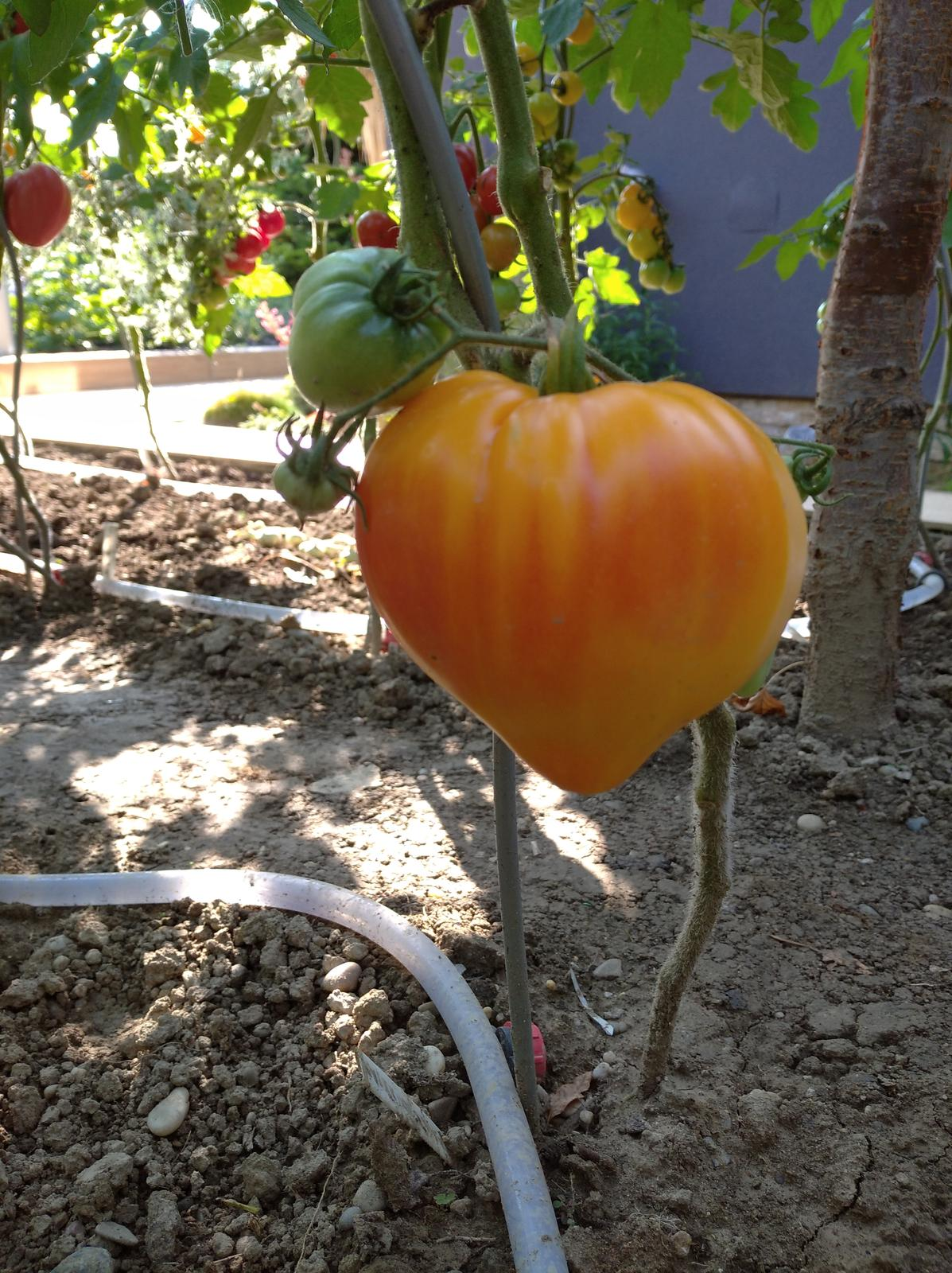 Svetové odrody - paradajky. - Obrázok č. 1