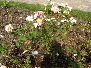 A naše růže stále krásně roste