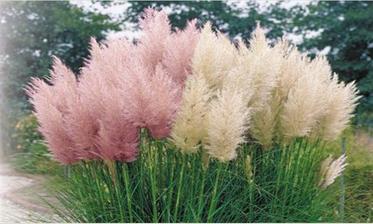 Pampová tráva je zatím na půdě, ven půjde na jaře.