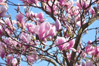 Růžová Magnolie na jaře úžasně kvete.