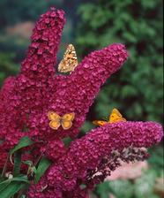 Komule davidova, láká motýlky z celého okolí, líbí se mi všechny odstíny, takže budeme kombinovat.