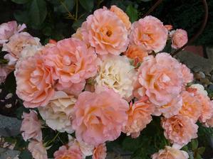 "Růže ""Bordure Apricot"""