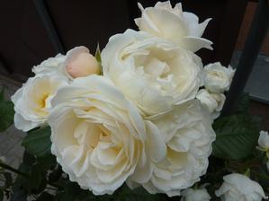 """Růže """"Uetersener Klosterrose"""""""