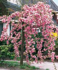 Zasazena na podzim. Nevíte zda letos již pokvete? :-) Převislá Sakura.