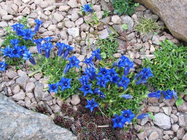 Skalky,skalničky a všeličo do záhrady - horec a skalná ruža