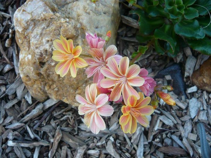 Skalky,skalničky a všeličo do záhrady - lewisia-najkrajšia skalnička