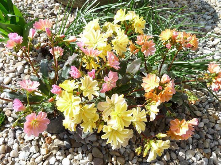 Skalky,skalničky a všeličo do záhrady - lewisia-žltá