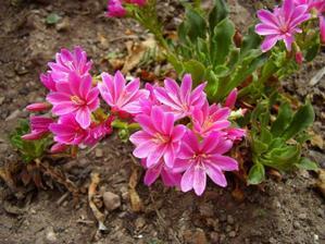 lewisia-ružová
