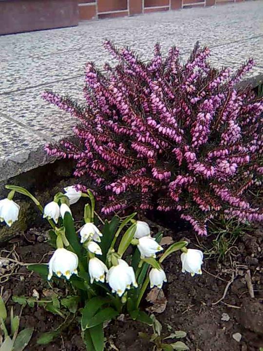 Skalky,skalničky a všeličo do záhrady - vres a bledula jarná