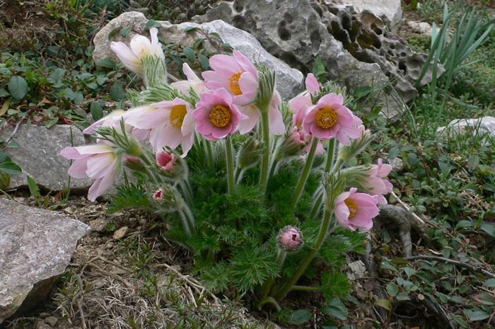 Skalky,skalničky a všeličo do záhrady - poniklec ružový