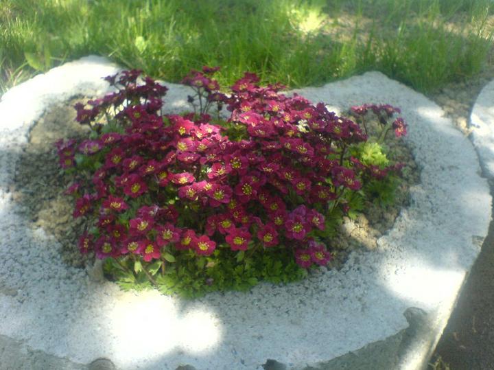 Skalky,skalničky a všeličo do záhrady - lomikamen