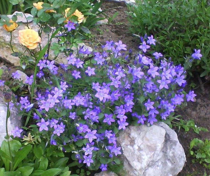 Skalky,skalničky a všeličo do záhrady - zvončeky a ružička-krásna kombinácia